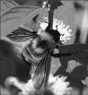 Our Native Pollinators